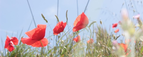 Coquelicot Paysage Provence