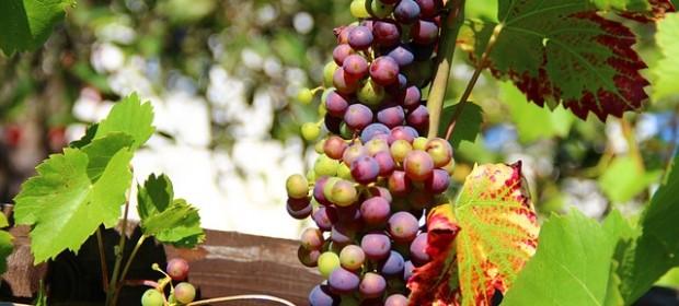 grapes-276068_640